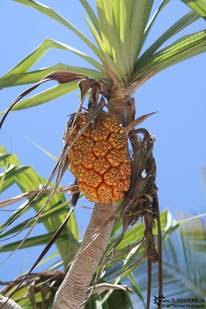 IMG 7497-Kenya, palm fruit