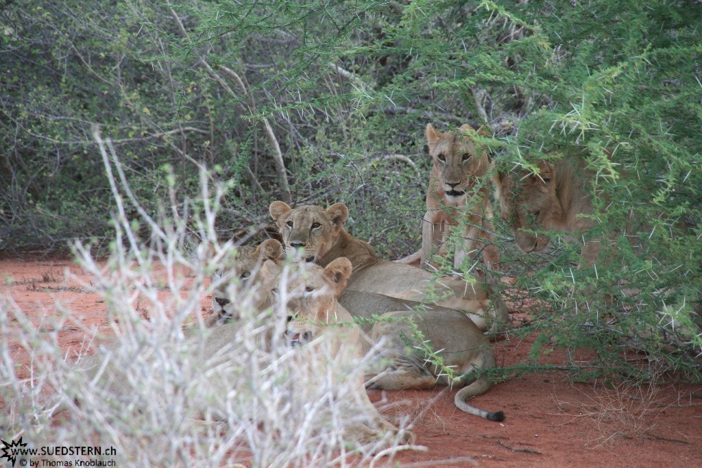 IMG 7537-Kenya, a group of lions in Tsavo East