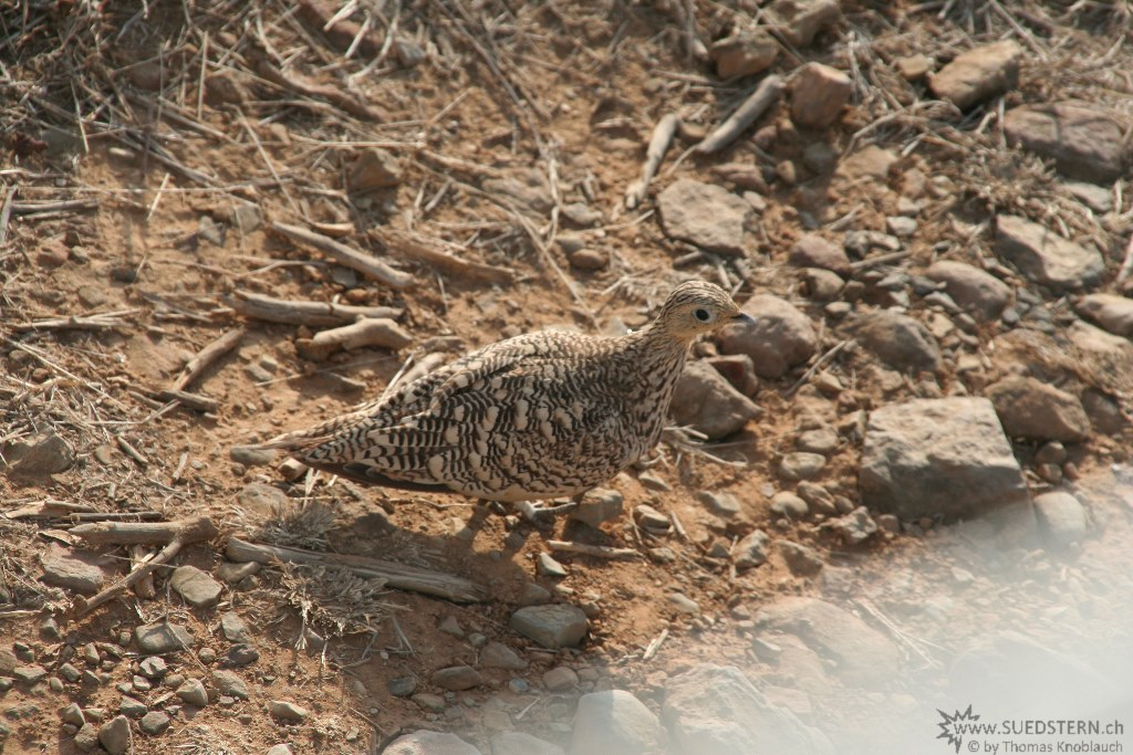 IMG 7676-Kenya, desert piegon at Tsavo East