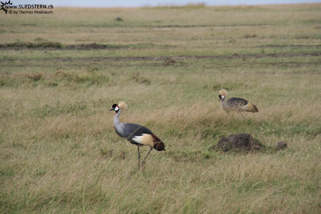 IMG 8527-Kenya, crowned cranes seen in Masai Mara