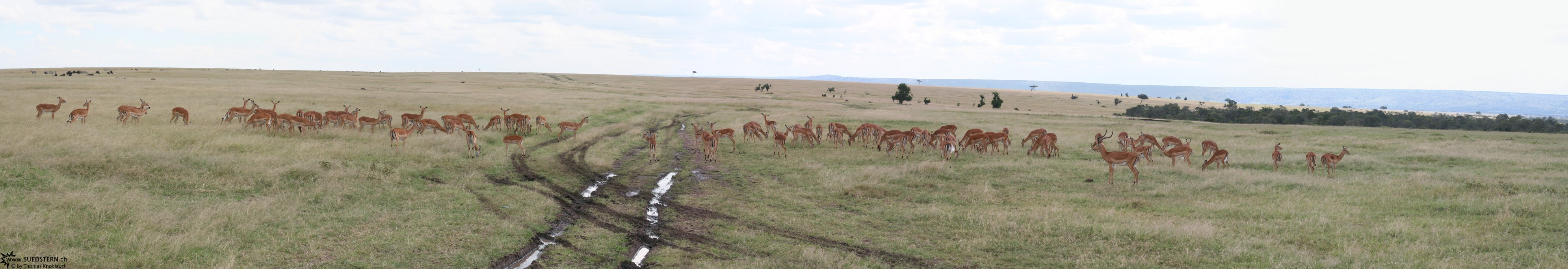 2007-04-14 - Kenya - Massai Mara - group of gazelles panorama