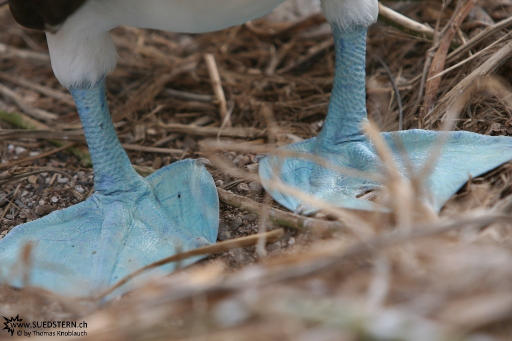 Blue Footed Boobies - Galapagos 2010 -IMG 6993