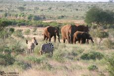 IMG 7565-Kenya, zebras and elephants at Tsavo East