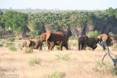 IMG 7566-Kenya, elephants in a queue seen in Tsavo East