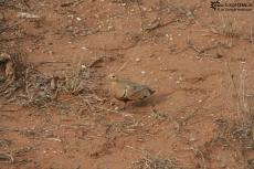 IMG 7687-Kenya, piegon at Tsavo East