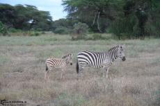 IMG 7815-Kenya, mama and baby zebra at Kimana Reserve