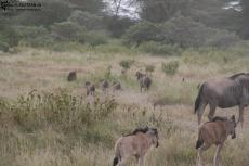 IMG 7958-Kenya, warthog (Kenya Express) runing away with their tails up like antennas