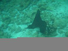 Eagle Ray - Underwater Galapagos 2010 -DSCN5417