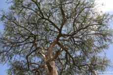 IMG 8663-Kenya, acacia tree looking upwards